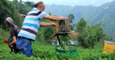 2020 yılı için yaş çay alım fiyatı destekle birlikte 3 lira 40 kuruş oldu